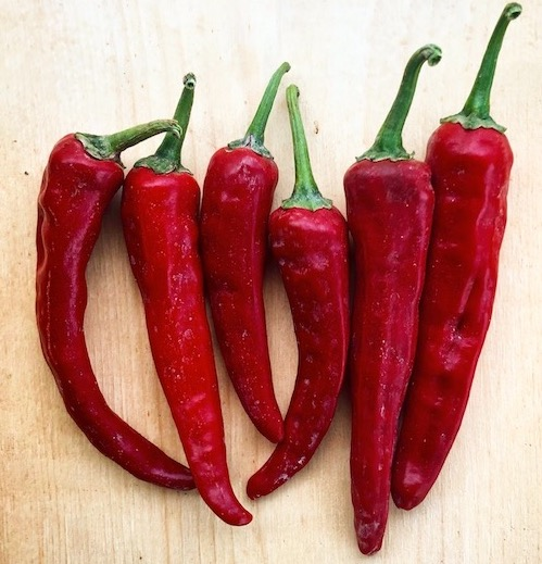 Andhra Chilly - Semi Hot (90 seeds +-)