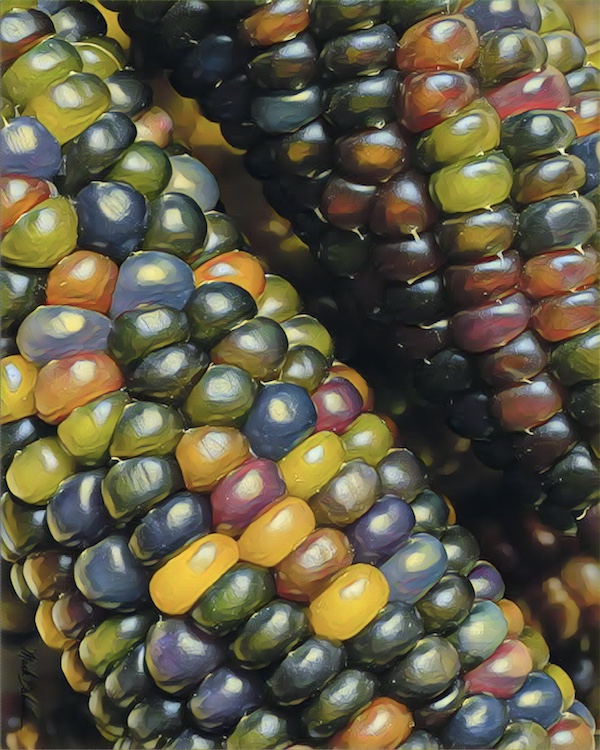 Glass Gem Rainbow Flint Corn 225 Seeds Bulk Size Yarroway Farm